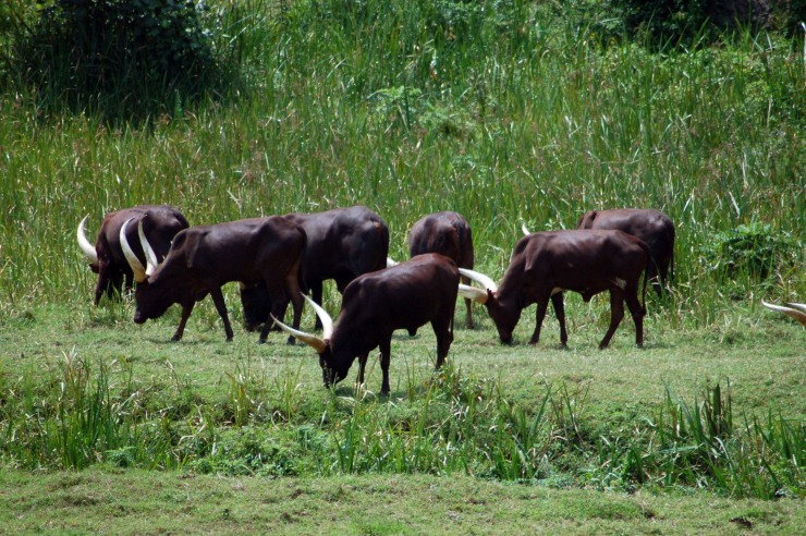 Ankole cows graze in rural Rwanda. The cattle are part of a distribution project in the country designed to provide income for the rural poor.