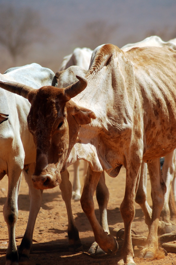 Emaciated and thirsty animals are brought to a water source in drought-stricken East Africa.